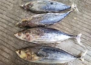 China 6 Fatty Acids Whole Round Seafrozen 3kg Freezing Skipjack Tuna wholesale