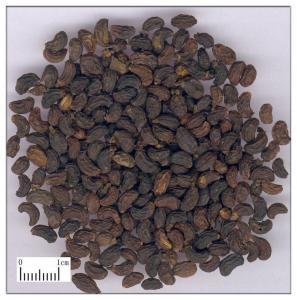 China Fructus Ligustri Lucidi,Glossy Privet Fruit,Nvzhenzi on sale