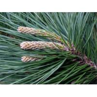 China Pine needle extract, Pinus leaf extract, 10:1 TLC, natural antioxidant property, Anti-wrinkle, skin care, manufacturer wholesale