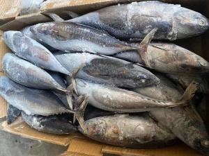 China For sale canned New Landing Delicious 100g 300g A+ grade Frozen Bonito Fish wholesale