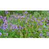 China Prunella vulgaris L wholesale