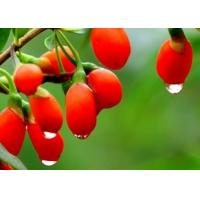 China factory supply wolfberry extract powder free samples or goji extract--Lycium barbarum L. on sale