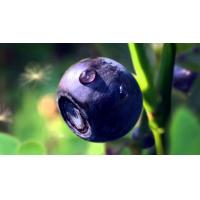 China anthocyanidins series, Bilberry Extract, anthocyanidins 5%-30%, anthocyanins 5%-35%, Cranberry Extract, Exporter wholesale