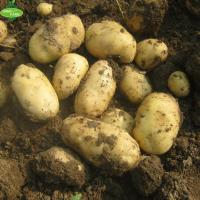 China The latest listed 2018 fresh potatoes, all kinds of packaging, the price is excellent, the supply quantity is large. wholesale