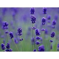 China Factory supply Lavender Extract, Lavandula pedunculata Extract 10:1 TLC, 100% natural, high quality,Chinese manufacturer wholesale