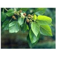 China Mulberry Leaf Extract, 1-DNJ 1%, 10:1, Chinese Manufacturer, natural reduce blood glucose, High quality wholesale