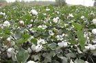China Hymexazol 99% TC/Homogeneous loose powder/use on the fruits wholesale