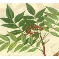 China Quassia Extract, Picrasma quassioides Extract, TCM, Chinese manufacturer , Shaanxi Yongyuan Bio-Tech wholesale