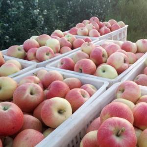 China China Huaguan Apple,thin skin,sweet,from China wholesale