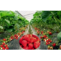 China Silver Black Agriculture Film Plastic Strawberry Blueberry PE Protective wholesale