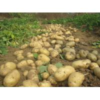 Buy cheap The latest listed 2018 fresh potatoes, all kinds of packaging, the price is from wholesalers