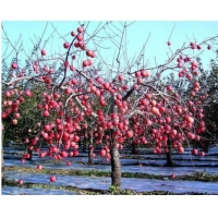 China Apple Tree Greenhouse 12 Micron Agriculture Film Biodegradable wholesale