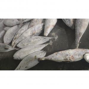 China SeaFrozen Whole Round BQF  Size 5kg 10kg Yellowfin Fresh Frozen Tuna Purse Seine wholesale