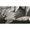 Buy cheap SeaFrozen Whole Round BQF Size 5kg 10kg Yellowfin Fresh Frozen Tuna Purse Seine from wholesalers