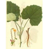 China Coltsfoot leaf Extract, Tussilago leaf Extract,  4:1, Chines Manufacturer, natural cosmetic ingredient, wholesale