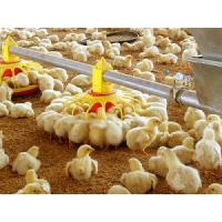 small chicken feed