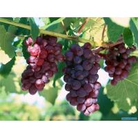 China grape wholesale