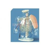China BLG/H30 Upper arm Intramuscular Injection and Contrastive Model on sale