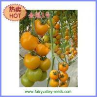 China Large round shape yellow tomato seeds 35g - Golden Crown No. 2 on sale