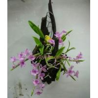 China CLAY FLOWERS ORCHID(Dendrobium parishii) 2 wholesale